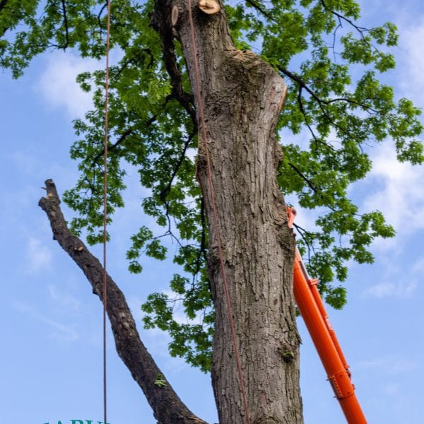 Brooklyn tree removal and climbing